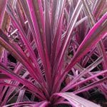 Cordyline-Pink-Passion
