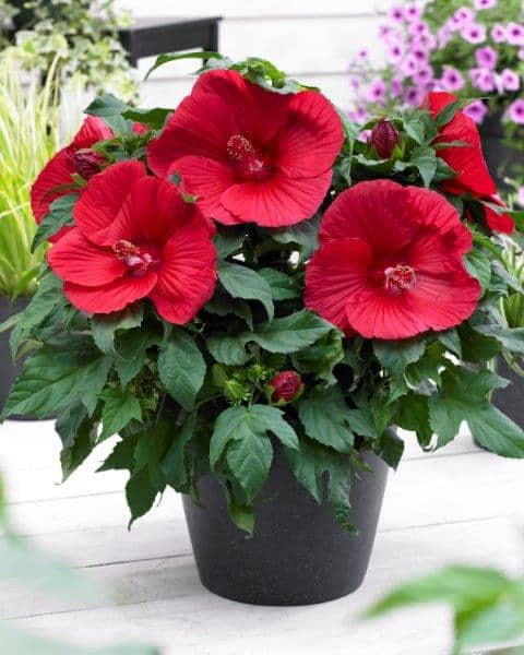 Hibiscus extreme oak red