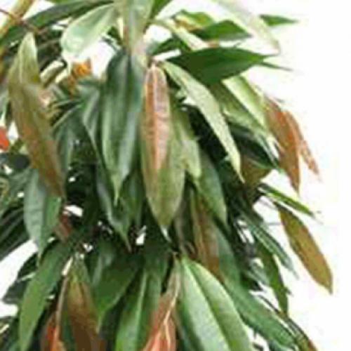 Ficus-amstel-king-n8157w7i9ngj5k6m25x4803tw1sz4wc29qmdgp4lzs