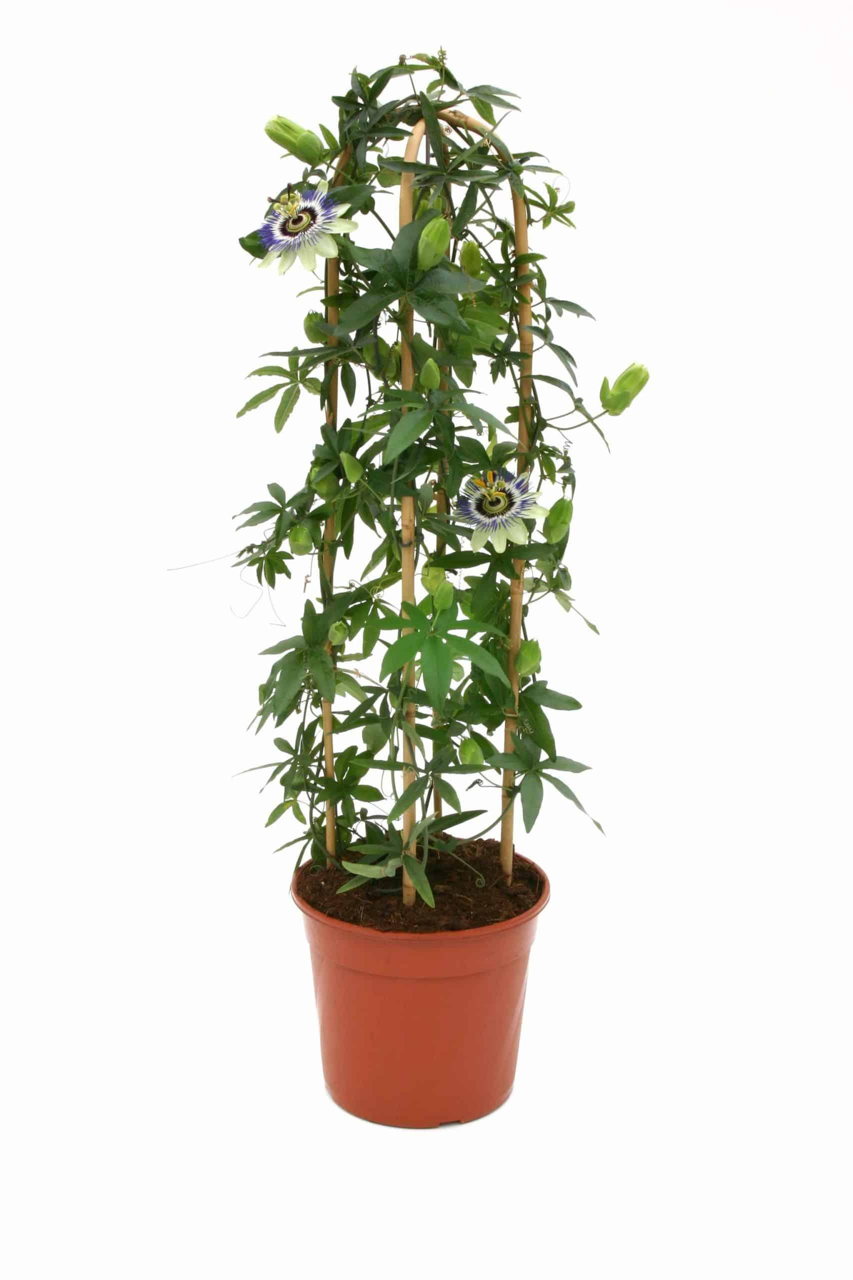 Passiflora Ceurulea Py