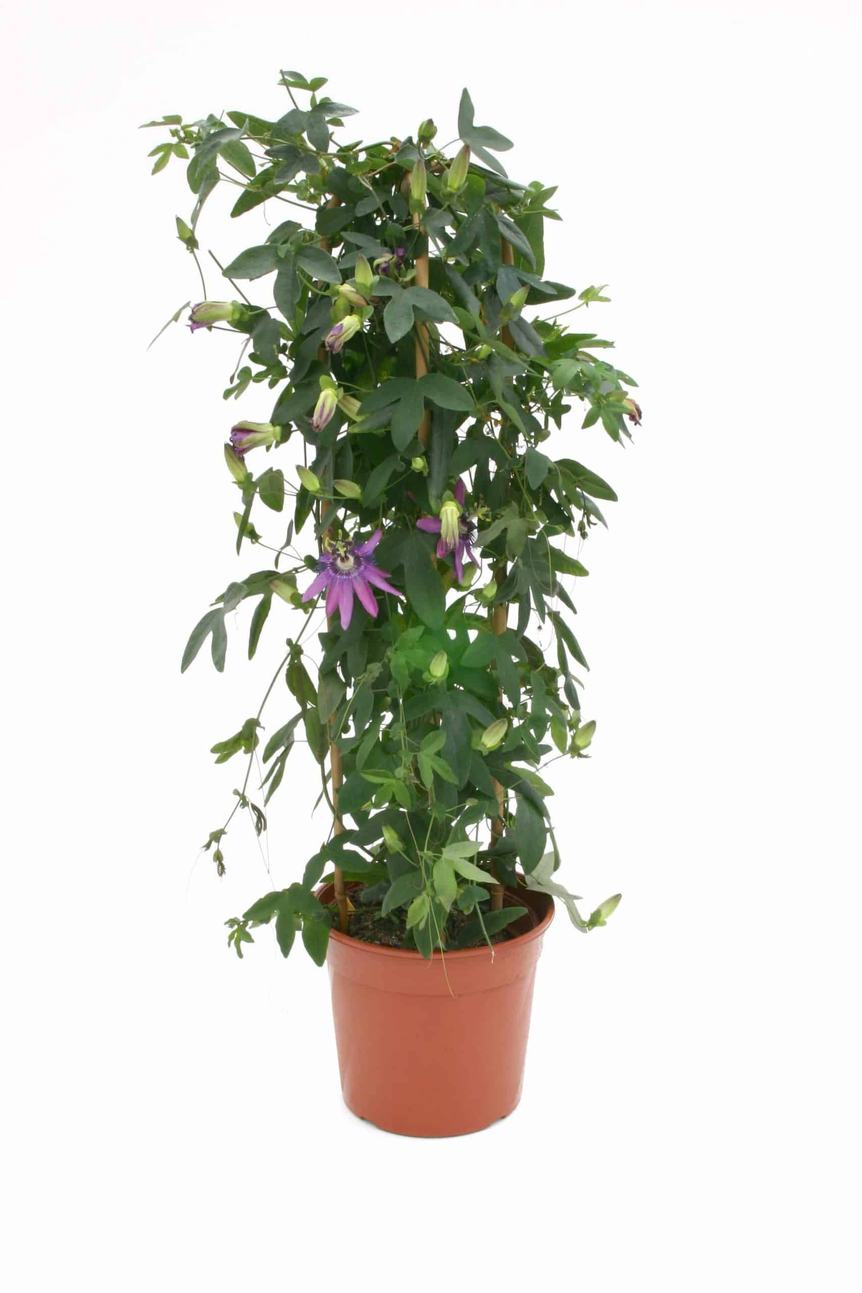 Passiflora Lavender Lady Py