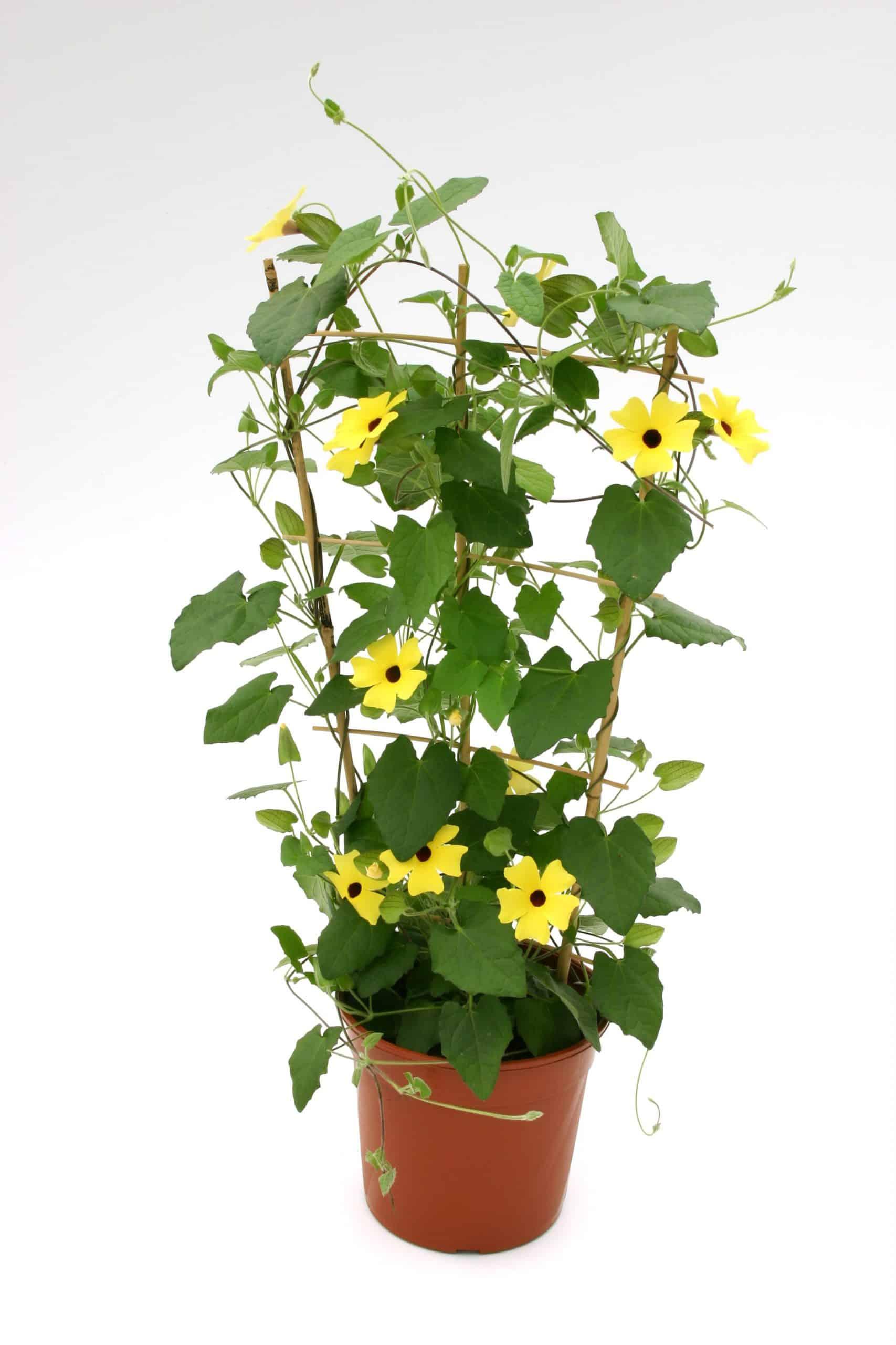 Thunbergia yellow