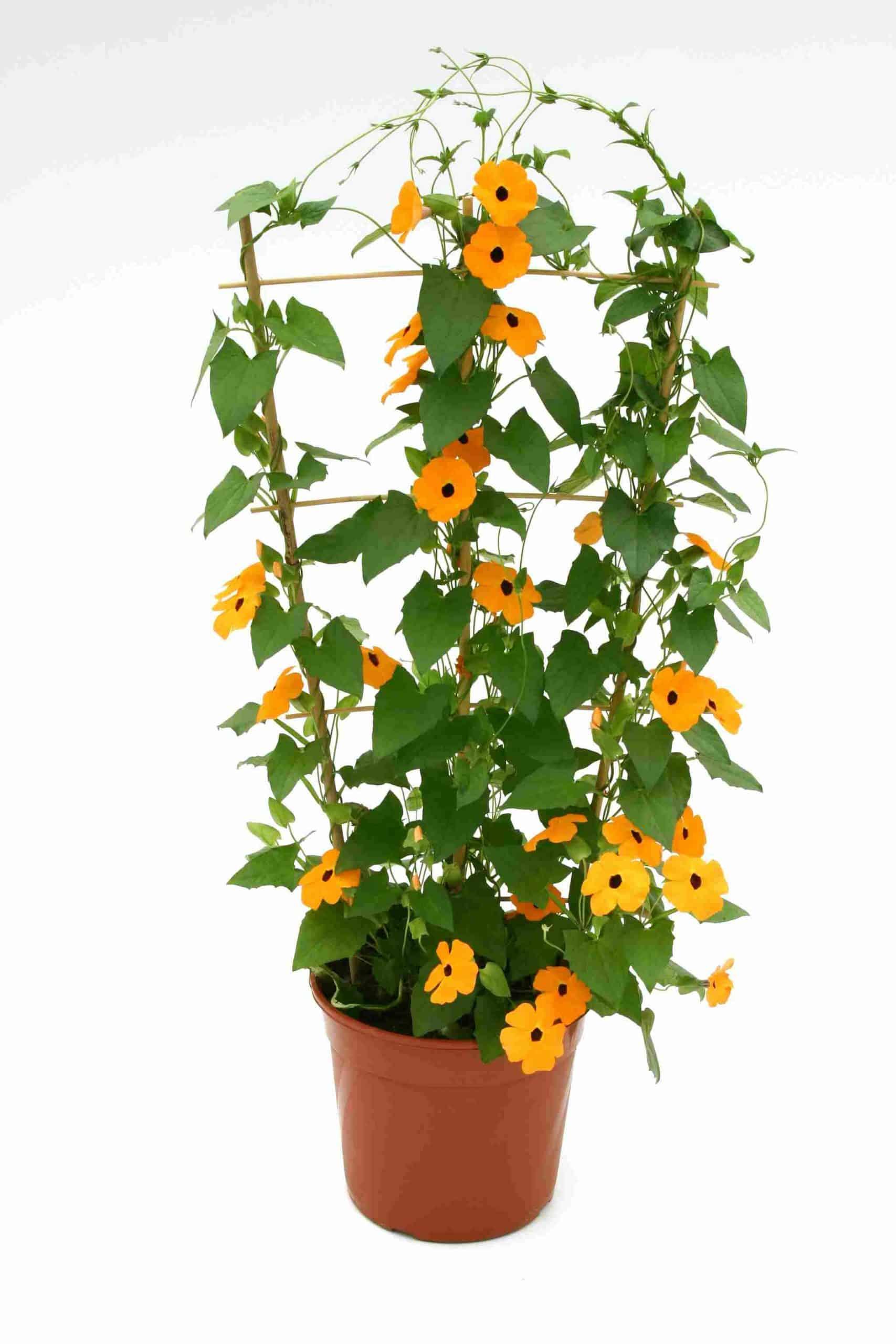 Thunbergia Orange Star