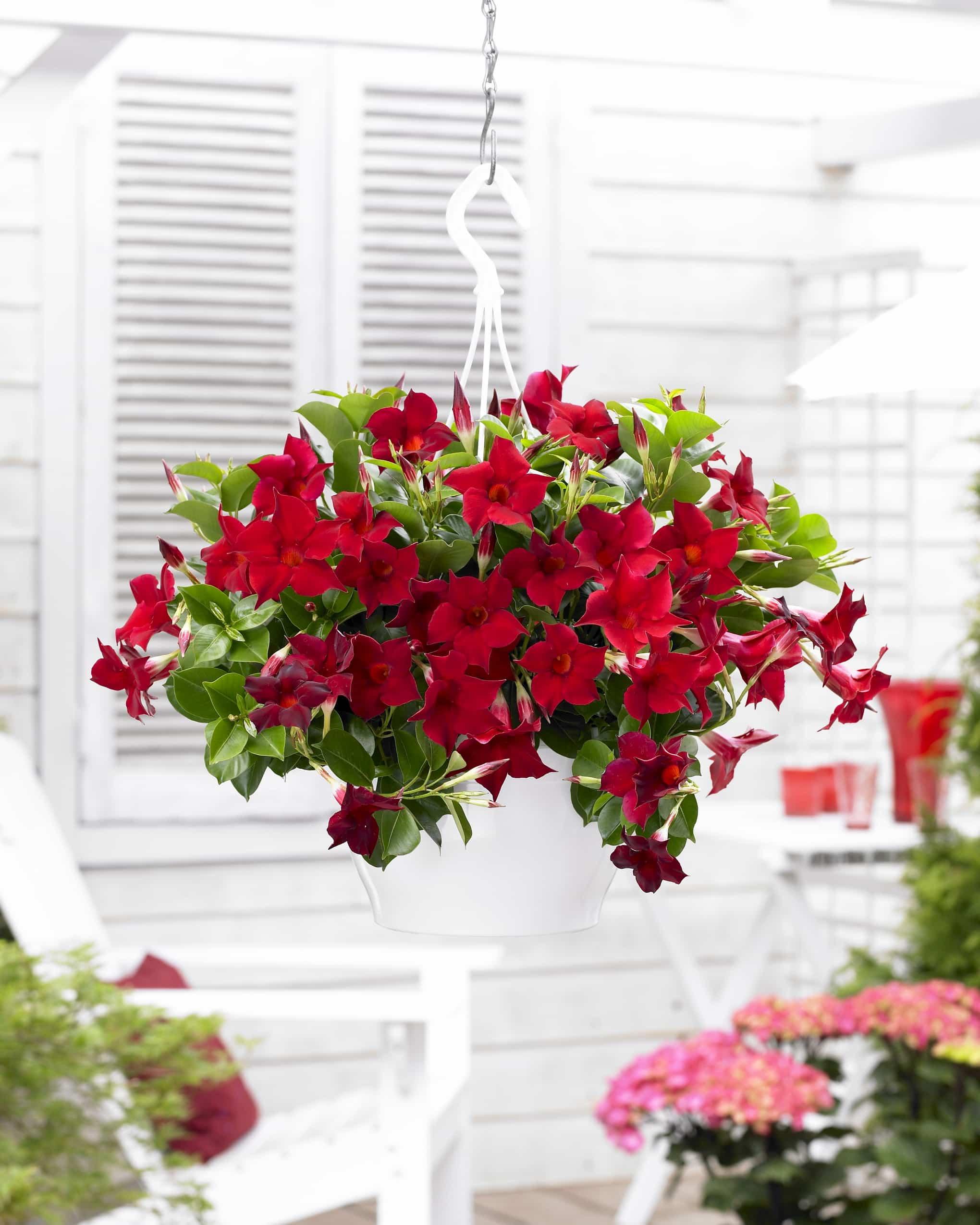 Mandevilla Bloom Bells® red