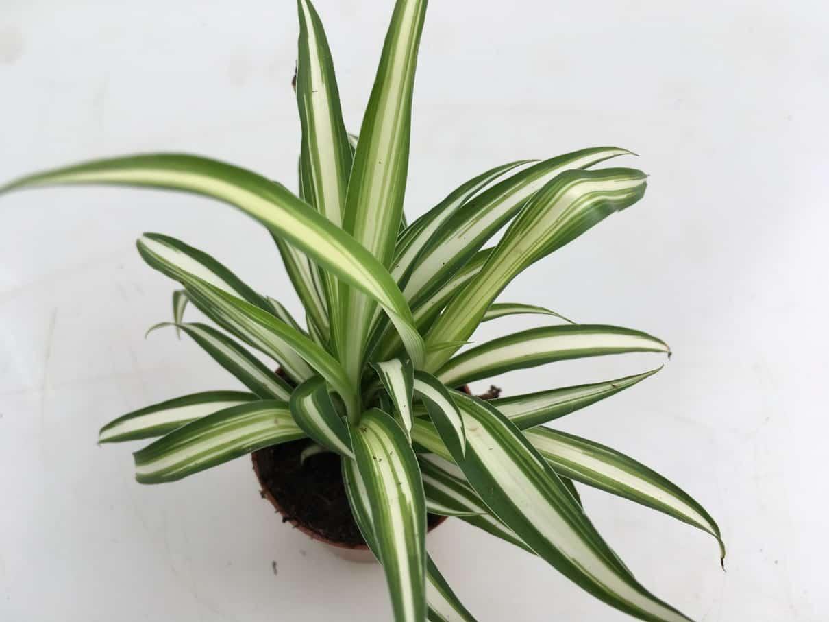 Chlorophytum Com.'Variegata' Clumb