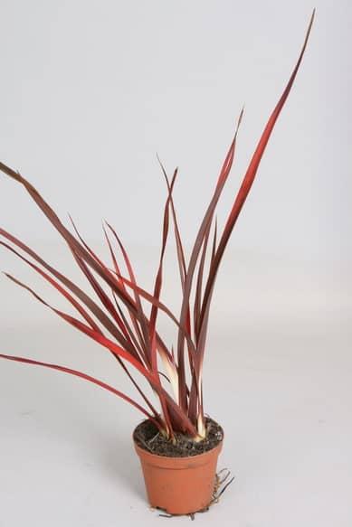Phormium 'Special Red'8,5 Lp Zm